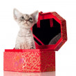 Sphynx kitten in a red casket — Stock Photo