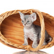 Cute sphynx kitten in woven basket — Stock Photo