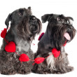 Two Miniature Schnauzers — ストック写真