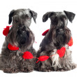Two Miniature Schnauzers - Stock Photo