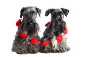 Two Miniature Schnauzers — Stock Photo