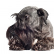 Cesky terrier dog portrait — Stock Photo