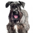 Adorable cesky terrier dog — Stock Photo