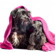 Two cesky terrier dogs under towel — Stock Photo #20562371