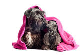 Two cesky terrier dogs under a towel — Stock Photo