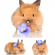 Red dwarf rabbit — Stock Photo