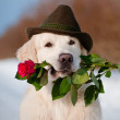 White Labrador Retriever — Stock Photo