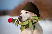 Golden retriever dog in a hat holding a rose flower — Stock Photo