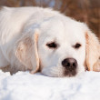 White labrador retriever — Stock Photo #21448547