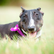English bull terrier — Stock Photo