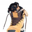 Puppy in a boot — Stock Photo
