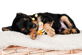 Adorable black and red puppy sleeping — Stock Photo