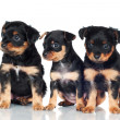Three adorable puppy — Stock Photo