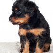 Adorable puppy — Stock Photo