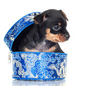 Adorable puppy in the box — Stock Photo