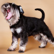 Miniature Schnauzer — Photo
