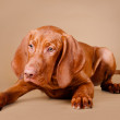 Adorable red dog - Stock Photo