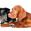 Miniature Schnauzer and red dog — Stock Photo