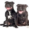 Staffordshire bull terrier dog — Stock Photo #22319069