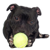 Staffordshire bull terrier dog — Stock Photo