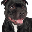 Staffordshire bull terrier dog — Stock Photo #22381653