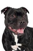 Staffordshire bull terrier cachorro — Fotografia Stock