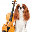Постер, плакат: Cavalier king charles spaniel dog with violin