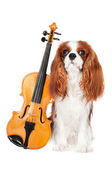 Cavalier king charles spaniel dog with violin — Stock Photo