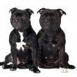 Two staffordshire bull terrier dogs — Stock Photo