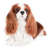 Cavalier king charles spaniel dog — Stock Photo