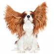 Cavalier king charles spaniel dog — Stock Photo