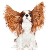 Perro cavalier king charles spaniel — Foto de Stock