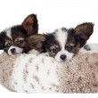 Two adorable papillon puppies — Stock Photo