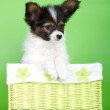 Adorable papillon puppy — Stock Photo #22836654