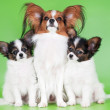 Papillon dog with two puppies — Stock Photo