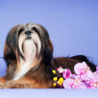 Lhasa apso dog — Stock Photo