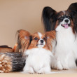 Royalty-Free Stock Photo: Papillon puppies