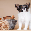 Adorable papillon puppy — Stock Photo