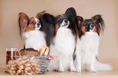 Three papillon dogs — Foto Stock