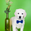 Stock Photo: Golden retriever puppy