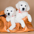 Two golden retriever puppies — Stock Photo
