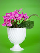 Pink african violet — Stock Photo
