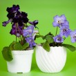 Purple african violet — Stock Photo
