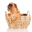 Brussels griffon dog — Stock Photo #23677001