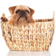 Brussels griffon dog — Stock Photo