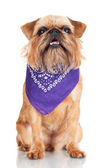 ブリュッセル ・ グリフォン犬 — ストック写真