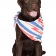 Chocolate labrador retriever dog — Stock Photo