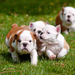 Stock Photo: English bulldog puppy outdoors