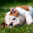 English bulldog puppy outdoors — Stock Photo