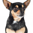 Chihuahua dog isolated on white — Stock Photo